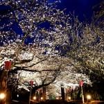 長崎県の桜の名所、大村公園がおすすめ!桜の見ごろは!?