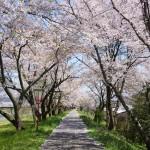 島根県の桜の名所、斐伊川堤防の桜並木の見ごろは!?