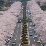 静岡県の桜の名所、富士霊園の圧倒的な景観の見ごろは!?