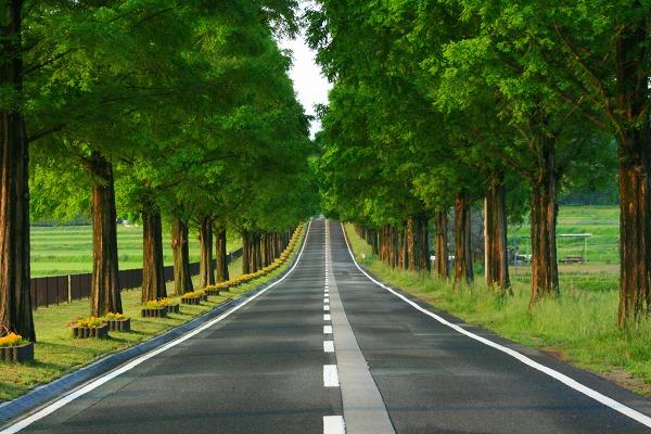 メタセコイア並木の冬の景観が凄い!滋賀マキノ高原へ行こう ...
