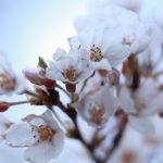 四国地方桜の名所2018!花見おすすめは!?厳選まとめ!