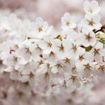 九州地方桜の名所2018!花見おすすめは!?厳選まとめ!