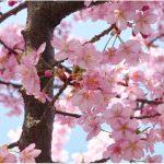 全国の桜開花予測:2017年はどうなる!?