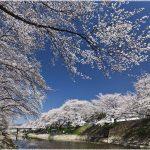 岐阜県の桜の名所、新境川堤の「百十郎桜」の見ごろは!?