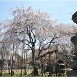 福井県の桜の名所、足羽山公園の桜の見ごろは!?