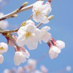 中国地方桜の名所2018!花見おすすめは!?厳選まとめ!