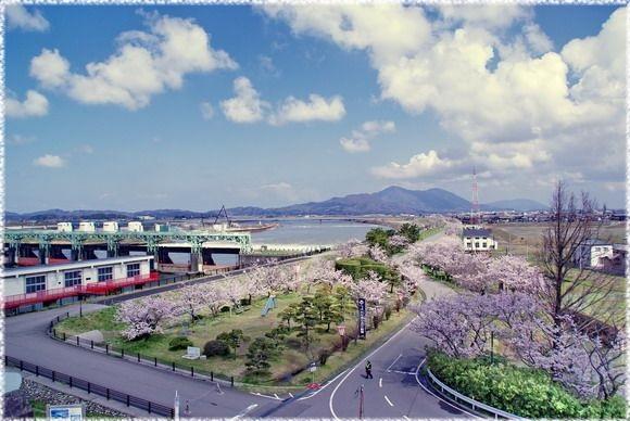 新潟県の桜の名所、大河津分水の...
