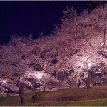 愛知県の桜の名所、鶴舞公園の風情豊かな桜の見ごろは!?
