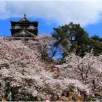 福井県の桜の名所、丸岡城の夜桜が幻想的!見ごろは!?