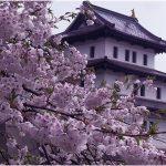 北海道の桜の名所、松前公園の三大名木に注目!見ごろは!?