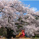 新潟県の桜の名所、村松公園の展望台からの桜の見ごろは!?