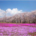 群馬県の桜の名所、赤城南面千本桜の圧倒的な景観!見ごろは!?