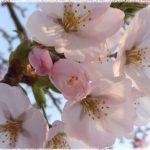 東北地方桜の名所2018!花見おすすめは!?厳選まとめ!