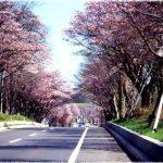 北海道の桜の名所、登別温泉の桜並木の見ごろは!?