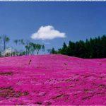 北海道の桜の名所、芝ざくら滝上公園の見ごろは!?
