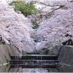 兵庫県の桜の名所、夙川(しゅくがわ)公園の桜の見どころは?
