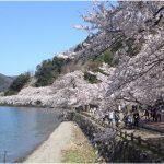 滋賀県の桜の名所、海津大崎の4kmにおよぶ桜の見ごろは!?