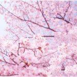 全国の桜の名所2018!花見おすすめは!?地方別厳選まとめ!