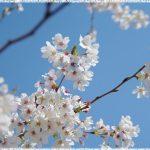 関東地方桜の名所2018!花見おすすめは!?厳選まとめ!
