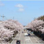 栃木県の桜の名所、日光街道の全国屈指の桜並木!見ごろは!?