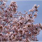 北海道桜の名所2018!花見おすすめは!?厳選まとめ!