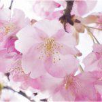 東海地方桜の名所2018!花見おすすめは!?厳選まとめ!