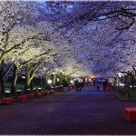 大阪の桜の名所、万博記念公園の5500本の桜の見ごろは!?
