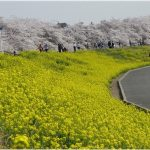 埼玉県の桜の名所、熊谷桜堤の桜と花の色彩が絶妙!見ごろは!?