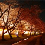 三重県の桜の名所、宮川堤の鮮やかな桜並木の見ごろは!?