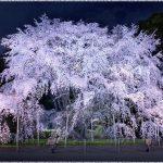 東京都内の桜の名所、六義園のシダレザクラの見ごろは!?