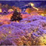 長野県の桜の名所、高遠城址公園の群を抜く夜桜の見ごろは!?