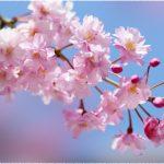 甲信越地方桜の名所2018!花見おすすめは!?厳選まとめ!