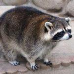 万力公園のアライグマ「ぷうた」の体形が可愛すぎると話題!